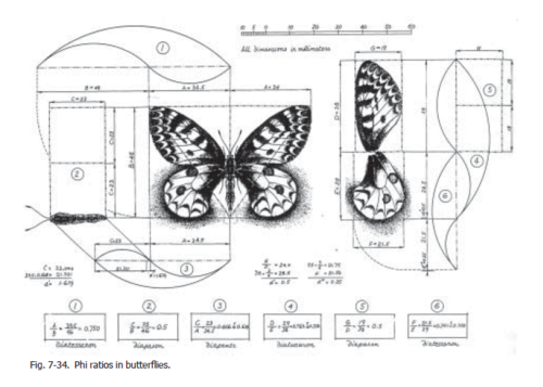 butterfly phi proportions (1)