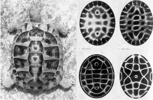 cymatic turtle pattern (1)